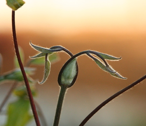 Leaf_bud